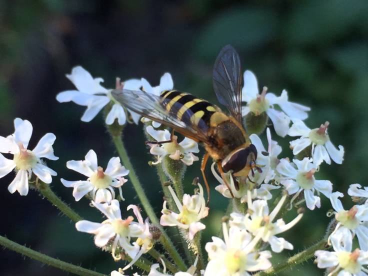 Hoverfly on Hogweed flower umbels