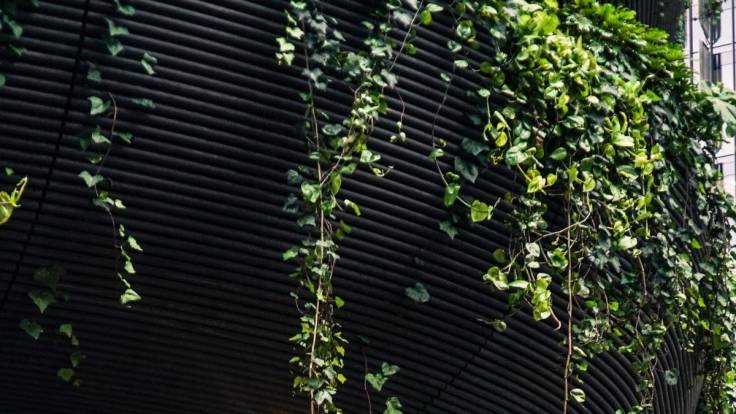Ivy growing on curved tin roof