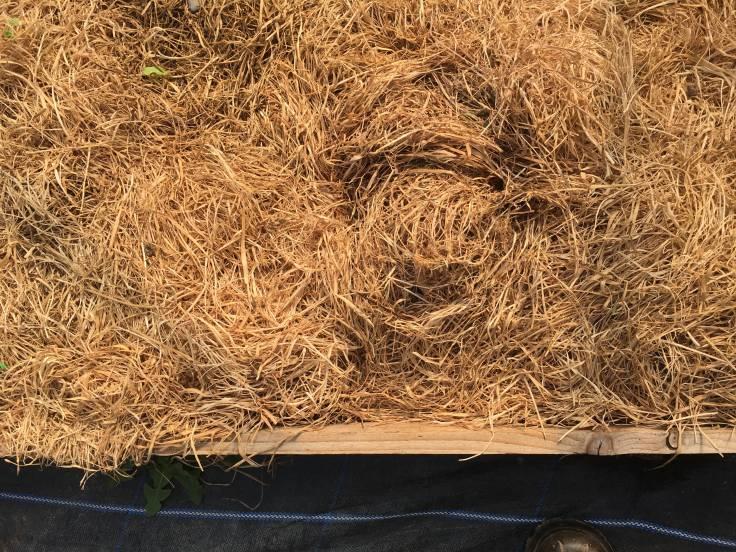 Golden dry hay mulch