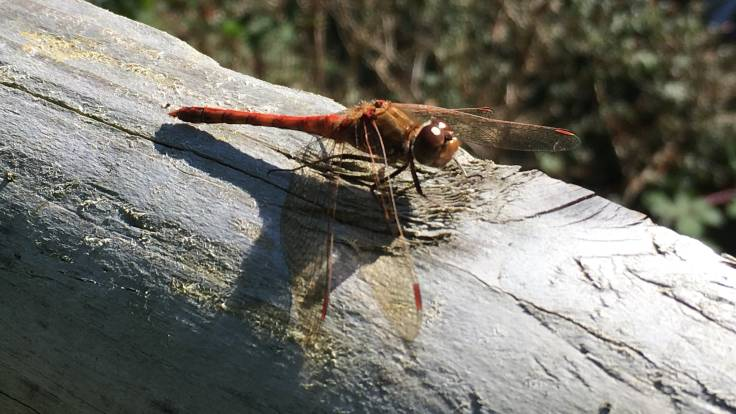 Red dragonfly sitting on wooden fence