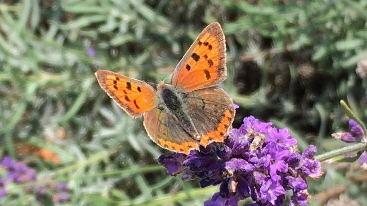 Orangey brown butterfly on lavender flower