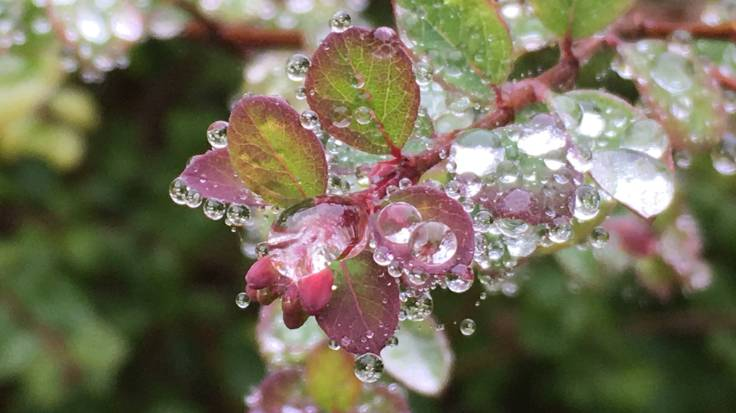 Close-up of rain drops on very fine spider's web around the rounded leaves of Snowberry