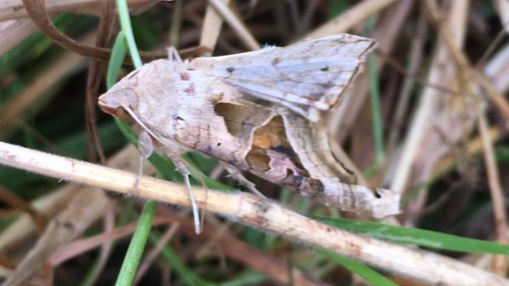 Camouflaged moth on same coloured grass