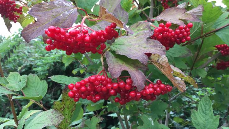 Dangling red Guelder Rose berries
