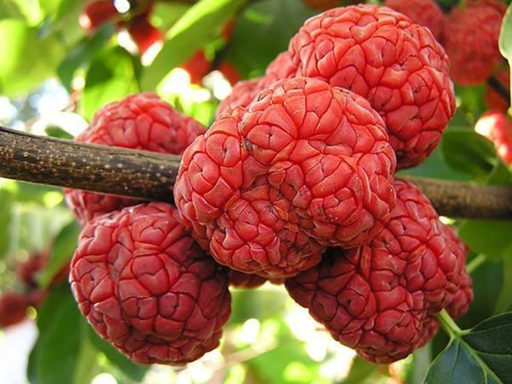 Brain-like red melonberry fruit on the tree
