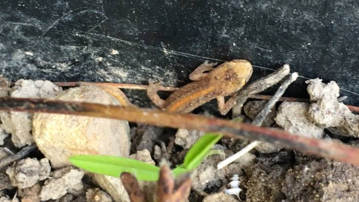 Small lizard in plant pot