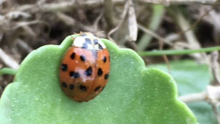 A ladybird on green rounded leaf