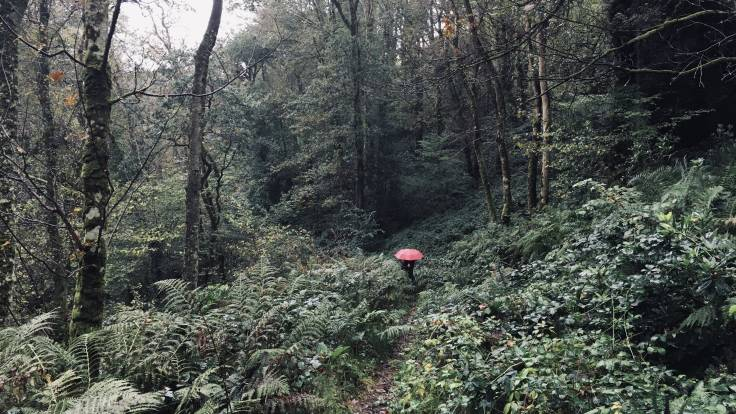 Pink umbrella in a cool temperate rain forest