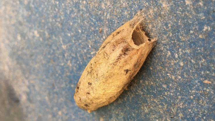 Papery brown cocoon stuck on side of metal container