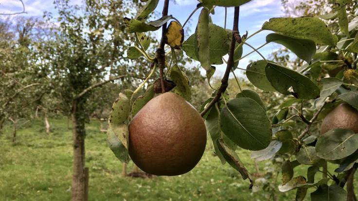 Roundish reddish pear on the tree