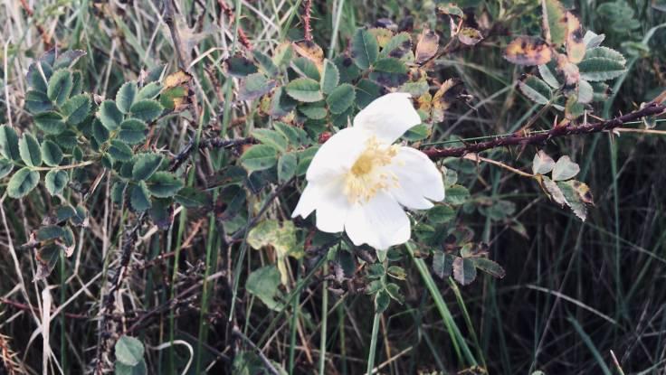 White open wild rose flower