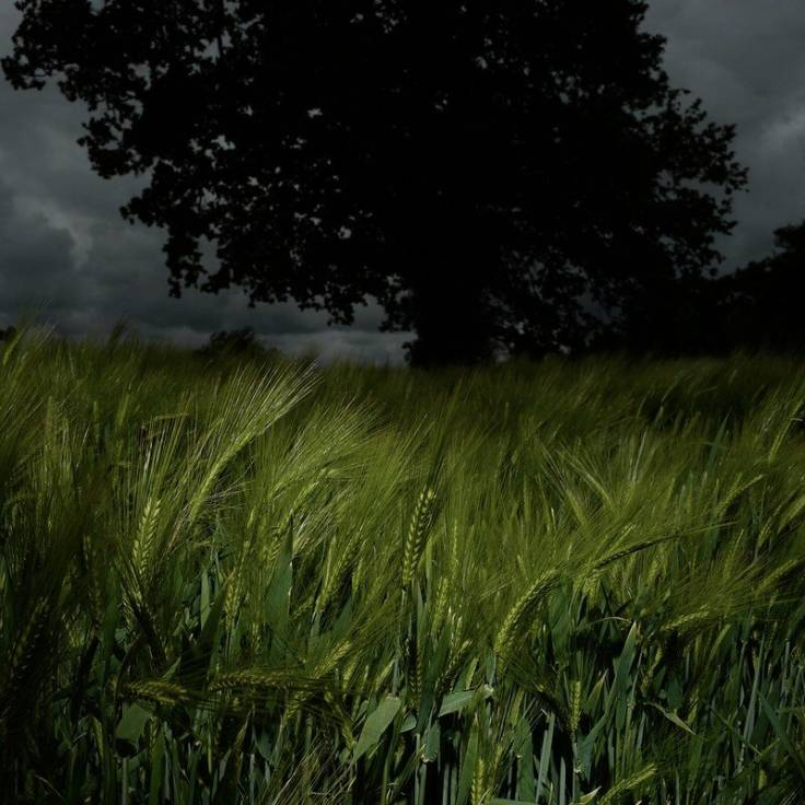 Green barley foreground, oak silhouette background