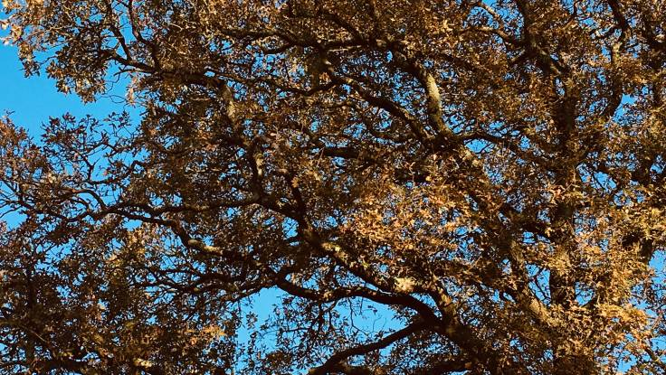 Oak branches with autumn leaves against the sky