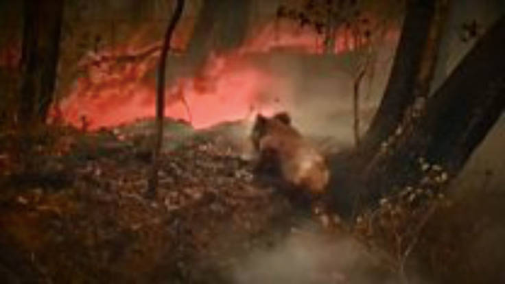 Koala in bush fire