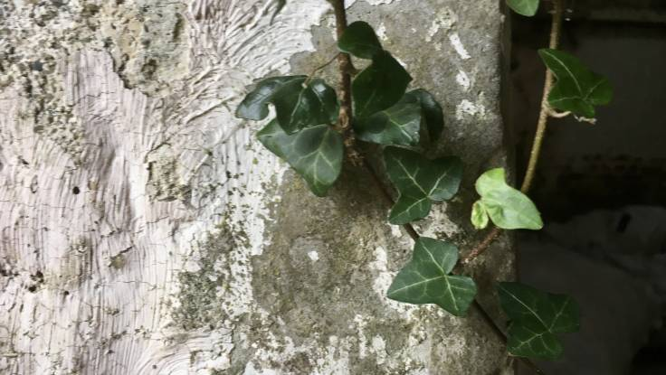 Ivy on an old whitewashed wall