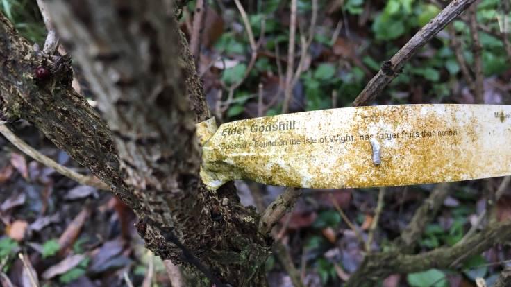 Algae covered label round Elder tree, says Elder Godshill