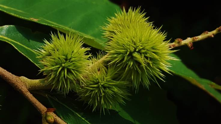 Spiky burrs of Chinkapin nuts