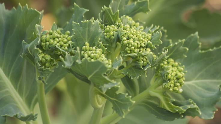 Green florets on cabbagey plant