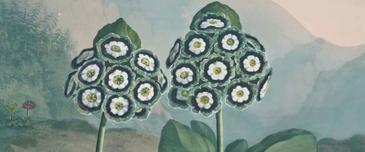 Painting of Auricula