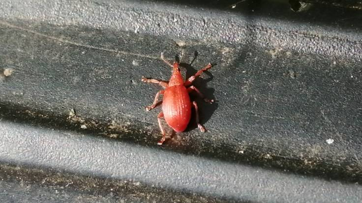 Red weevil on black plastic