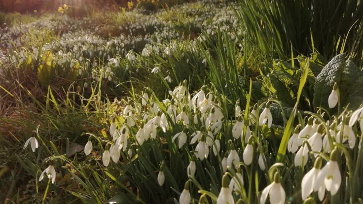 Snowdrops in late afternoon sun