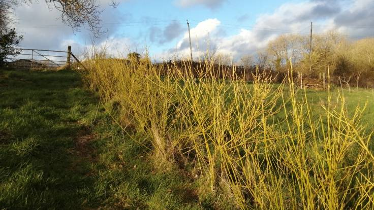 Yellow Dogwood windbreak hedge