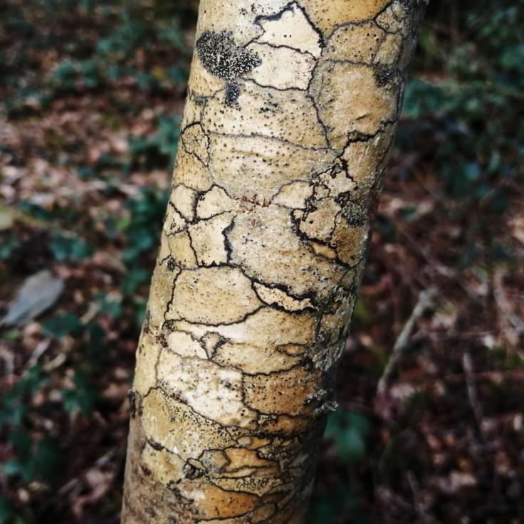 Mosaic bark of Ash sapling