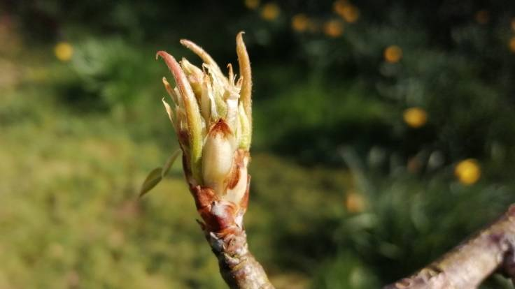 Opening pear bud