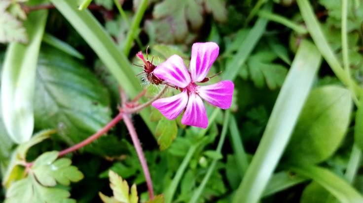Pink open flower in hedgerow