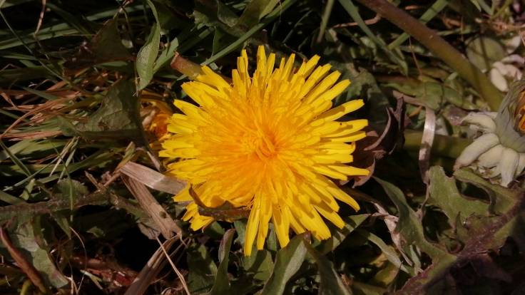 Egg yolk yellow Dandelion flower