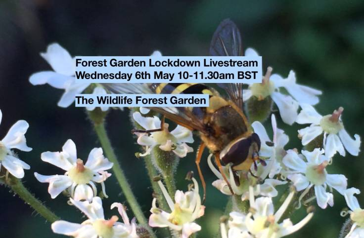 Screenshot of Livestream details over photo of hoverfly