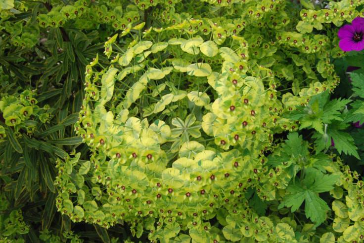 Lime green leafy bract spherical flower head