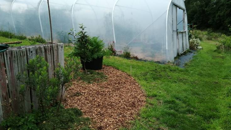 Newly mulched bed by polytunnel