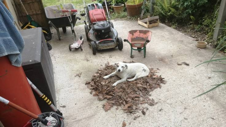 Dog sitting on a pile of swept up leaves