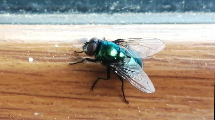 Green fly on window