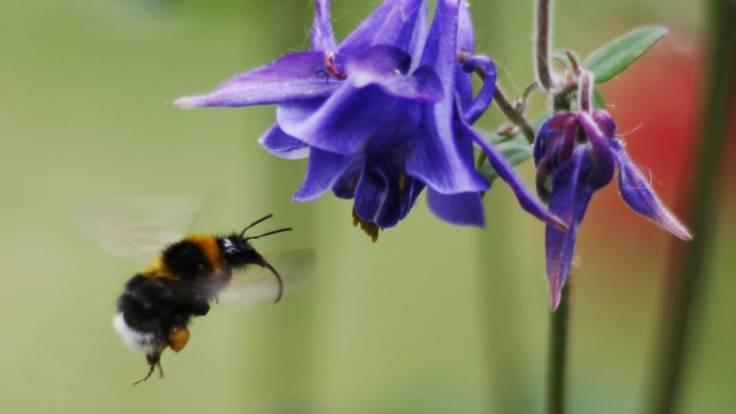 Bee pollinating blue Columbine flower