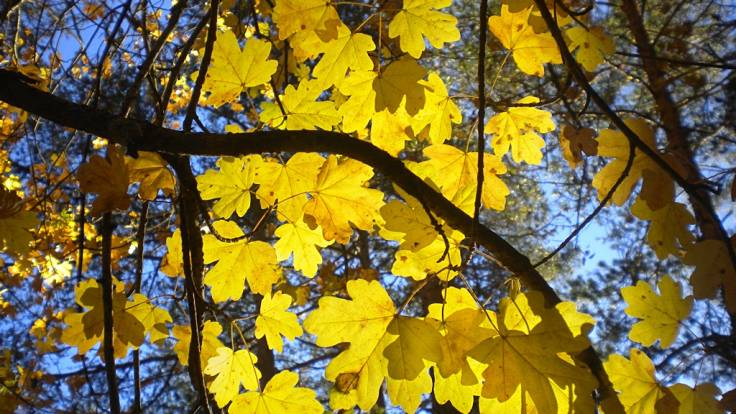 Yellow autumn tree leaves backlit