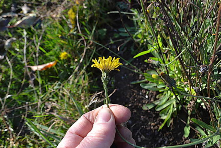 Hand holiding dandelion-like flower