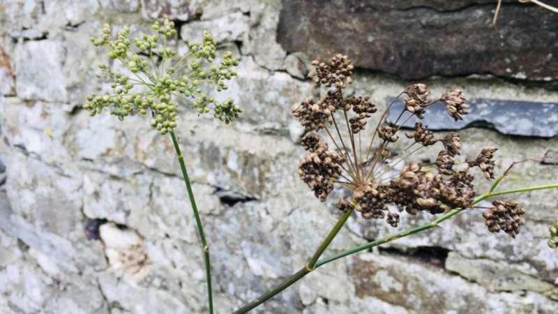 Fennel against stone wall