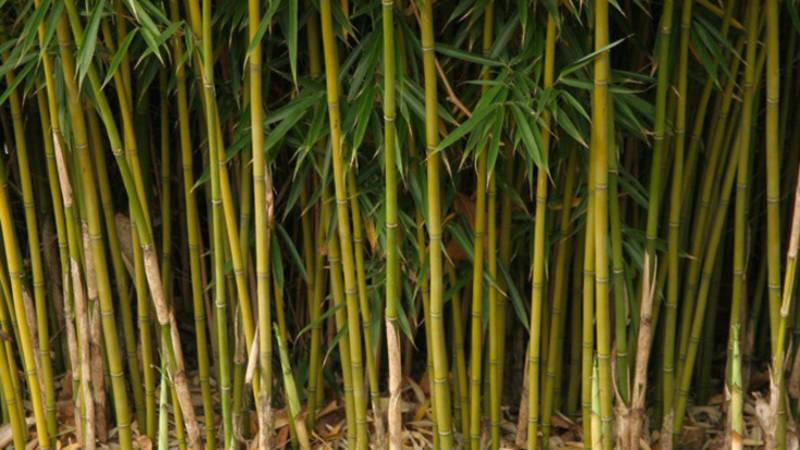 Bamboo stems