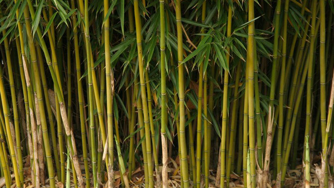 Thick wall of bamboo shoots
