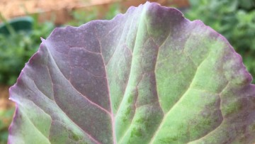 Closeup of kale leaf