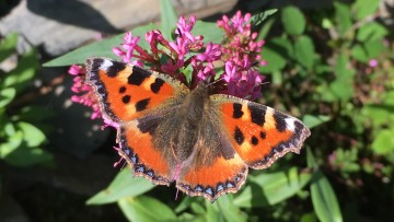 Painted Lady butterfly on pink Red Valerian flower