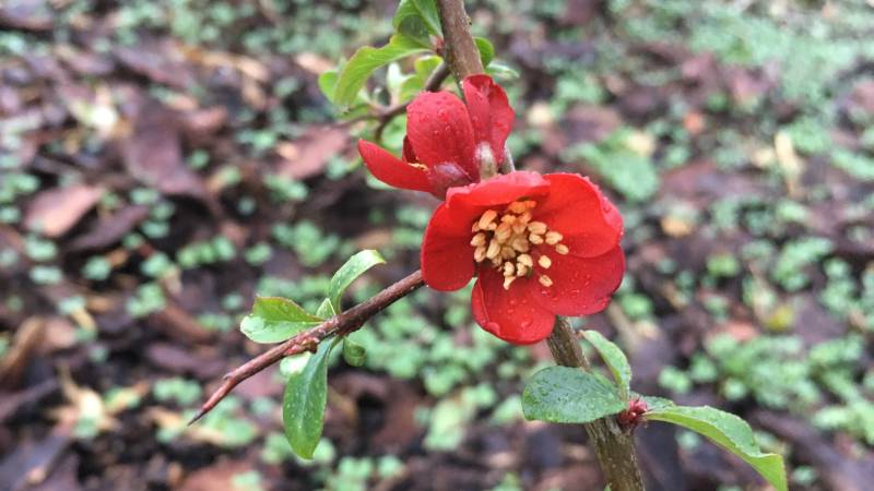 Red flower of Japanese Quince