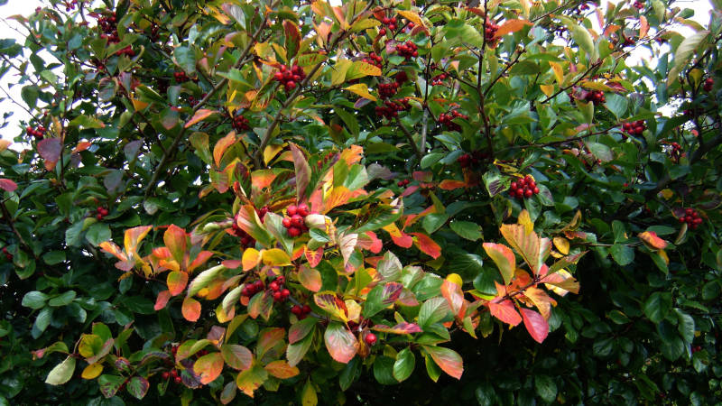 Green leaves turning gold, red fruit of small tree