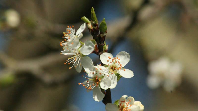 White flowers of damson tree