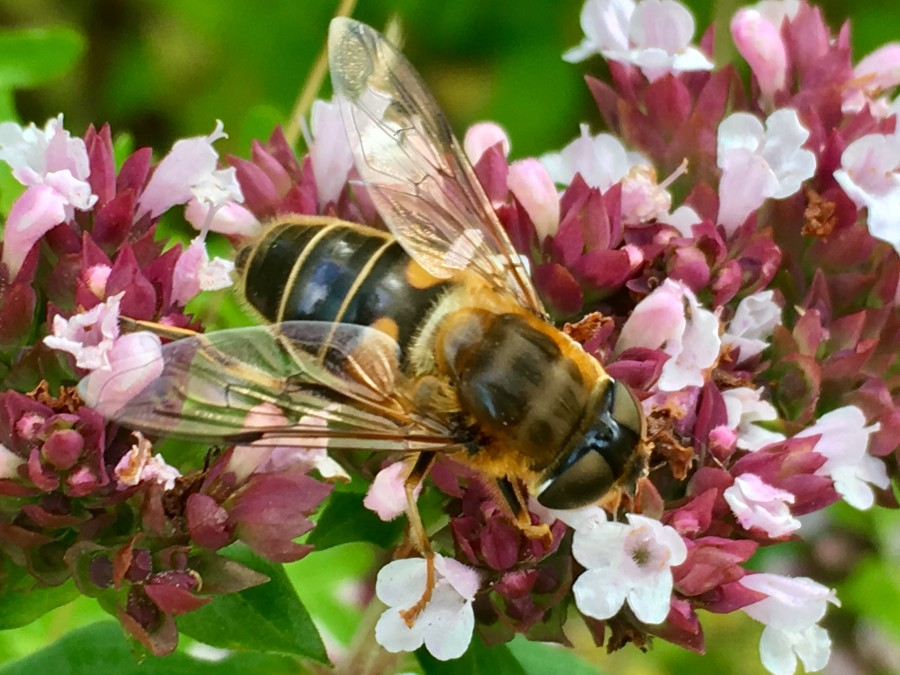 Closeup of hoverfly on Oregano flowers
