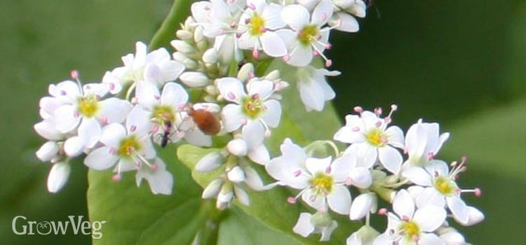 https://res.cloudinary.com/growinginteractive/image/upload/q_100/v1445784345/growblog/buckwheat-blossoms-2x.jpg
