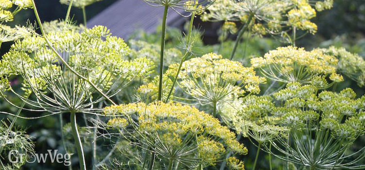 https://res.cloudinary.com/growinginteractive/image/upload/q_100/v1445961882/growblog/dill-flowers-2x.jpg