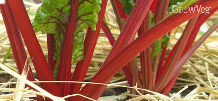 Swiss chard with a straw mulch